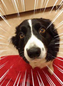 А, това е Мегата! Най-добрият ALT tag е описателният таг - Куче, бордър коли, гладно, иска яде :)